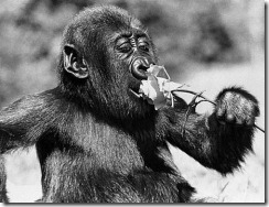 animals,gorilla-8b415469764c72a2b3c29a8433b8b2b9_h