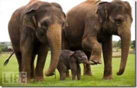 elephantfamily.animal,portraits,animals,life,wild,animal,photos,of,the,year-a6d4a06eb2c7aecbbff4d9b327655963_h (2)