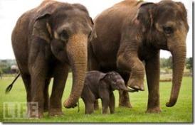 elephantfamily.animal,portraits,animals,life,wild,animal,photos,of,the,year-a6d4a06eb2c7aecbbff4d9b327655963_h (2)