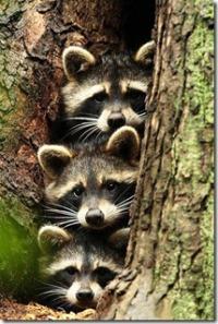 racoons.threefunny.mao,,trio,d,_,b,animals,funny,raccoon-f9ac724a680e436fbf75c4bc210d6b6e_h (2)
