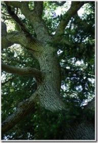 placenta_tree