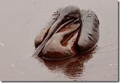 pelicanoiledbptumblr_l3gxfhrrgt1qaukhio1_500_thumb